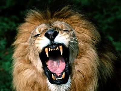 Roaring-lion-very-danger-photo-and-images